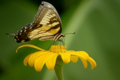 Monarch-butterfly-feeding