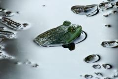 Swamp-frog copy